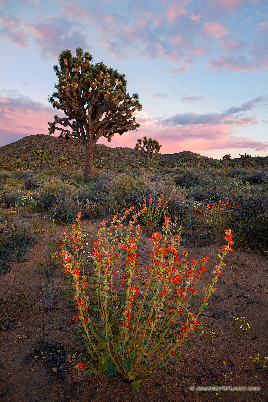 Several days of rain bring much needed moisture to Joshua Tree National Park. After these storms wildflowers bloom abundantly throughout the landscape.