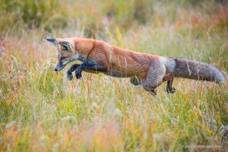 A red fox pounces on unsuspecting prey in the Kawuneeche Valley of western Rocky Mountain National Park, Colorado.