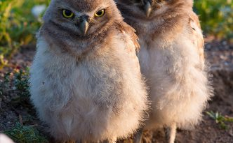 Two burrowing owl chicks watch quietly outside their home in Badlands National Park, South Dakota.