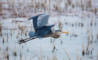 A great blue heron silently glides above the marsh at Squaw Creek National Wildlife Refuge (Loess Bluffs).