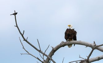 A crow sits on a branch taunting the larger Bald Eagle. The eagle merely looked at him, ignoring his taunts.