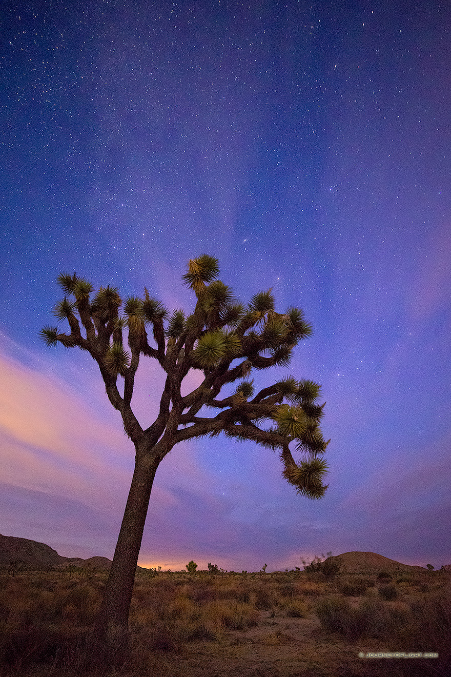 A Joshua Tree Evening
