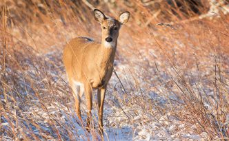Just after dawn a deer pauses in a cold, wintry prairie at Chalco Hills Recreation Area in eastern Nebraska.
