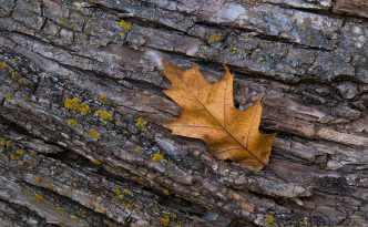 An autumn oak leaf rests on the trunk of a fallen tree in the forest of Chalco Hills Recreation Area.