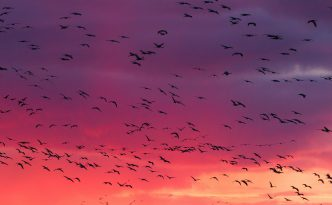 Sandhill Cranes and Sunset