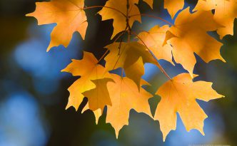 A photograph of autumn maple leaves on a tree in Nebraska.