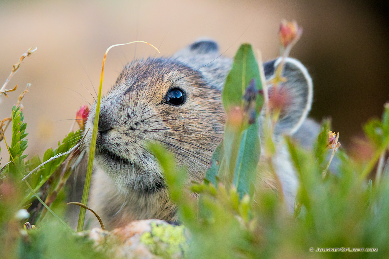 Little Foraging Pika