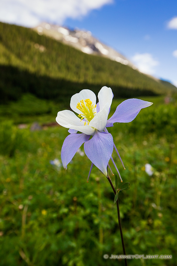 A lone Columbine grows in a lush, green valley in the San Juan mountains in southwestern Colorado. - Colorado Photography
