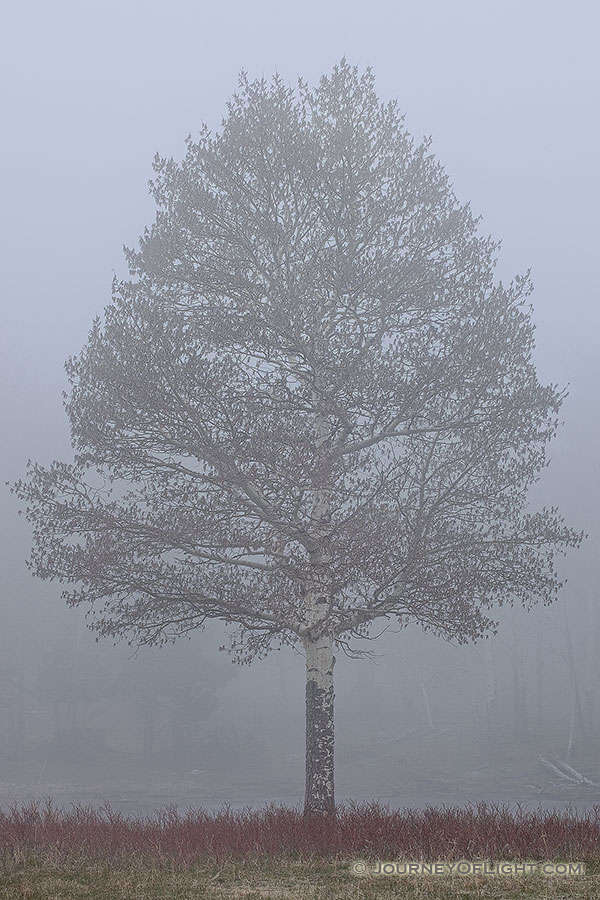 A single aspen emerges from the thick fog in Rocky Mountain National Park, Colorado. - Rocky Mountain NP Photography