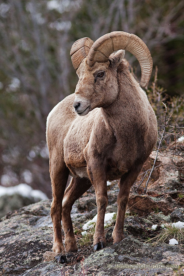 A big horn sheep watches high from the rocks near Endovalley in Rocky Mountain National Park, Colorado. - Rocky Mountain NP Photography