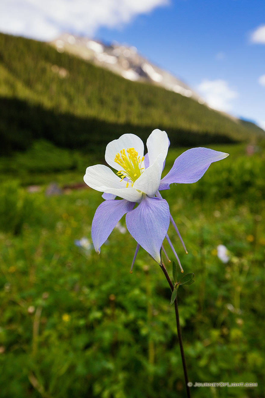 A lone Columbine grows in a lush, green valley in the San Juan mountains in southwestern Colorado. - Colorado Picture