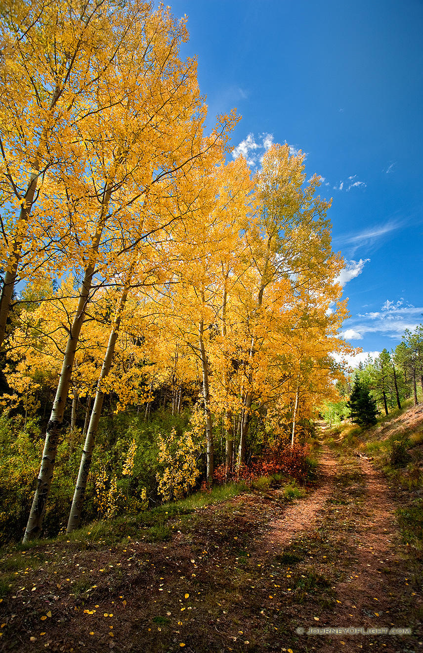 A photograph of a road lined by yellow autumn aspens in Colorado.