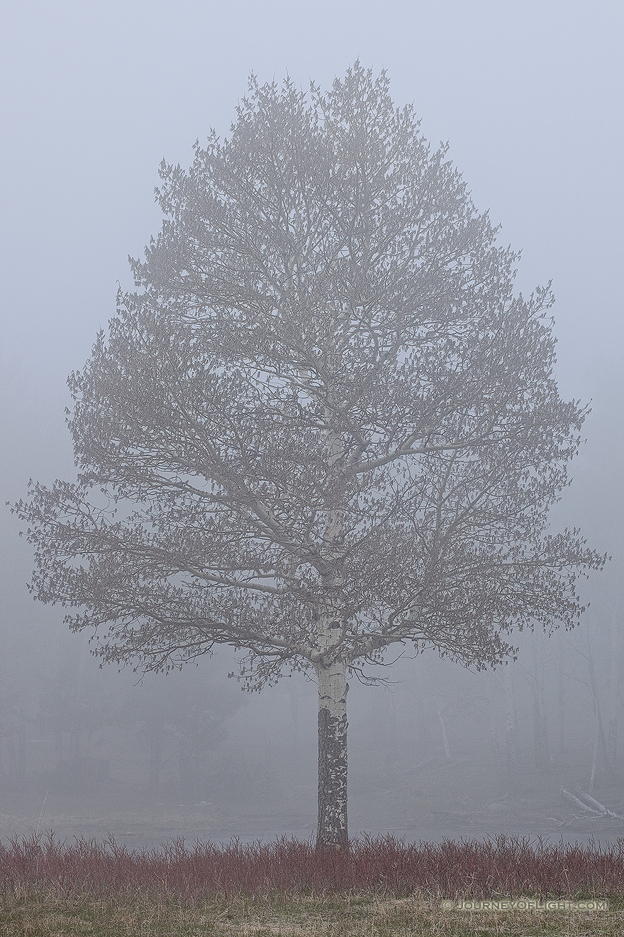 A single aspen emerges from the thick fog in Rocky Mountain National Park, Colorado. - Rocky Mountain NP Picture