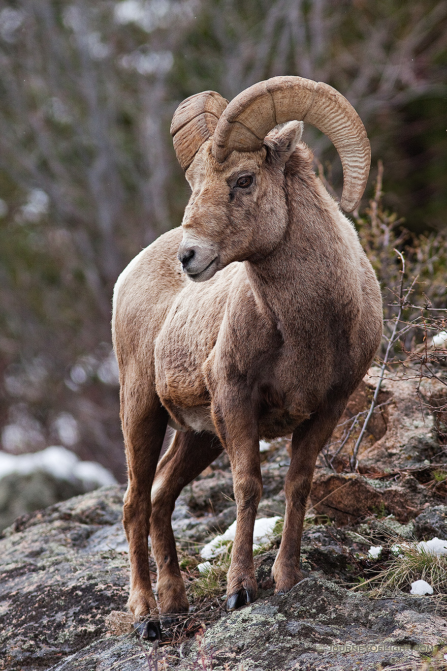 A big horn sheep watches high from the rocks near Endovalley in Rocky Mountain National Park, Colorado. - Rocky Mountain NP Picture
