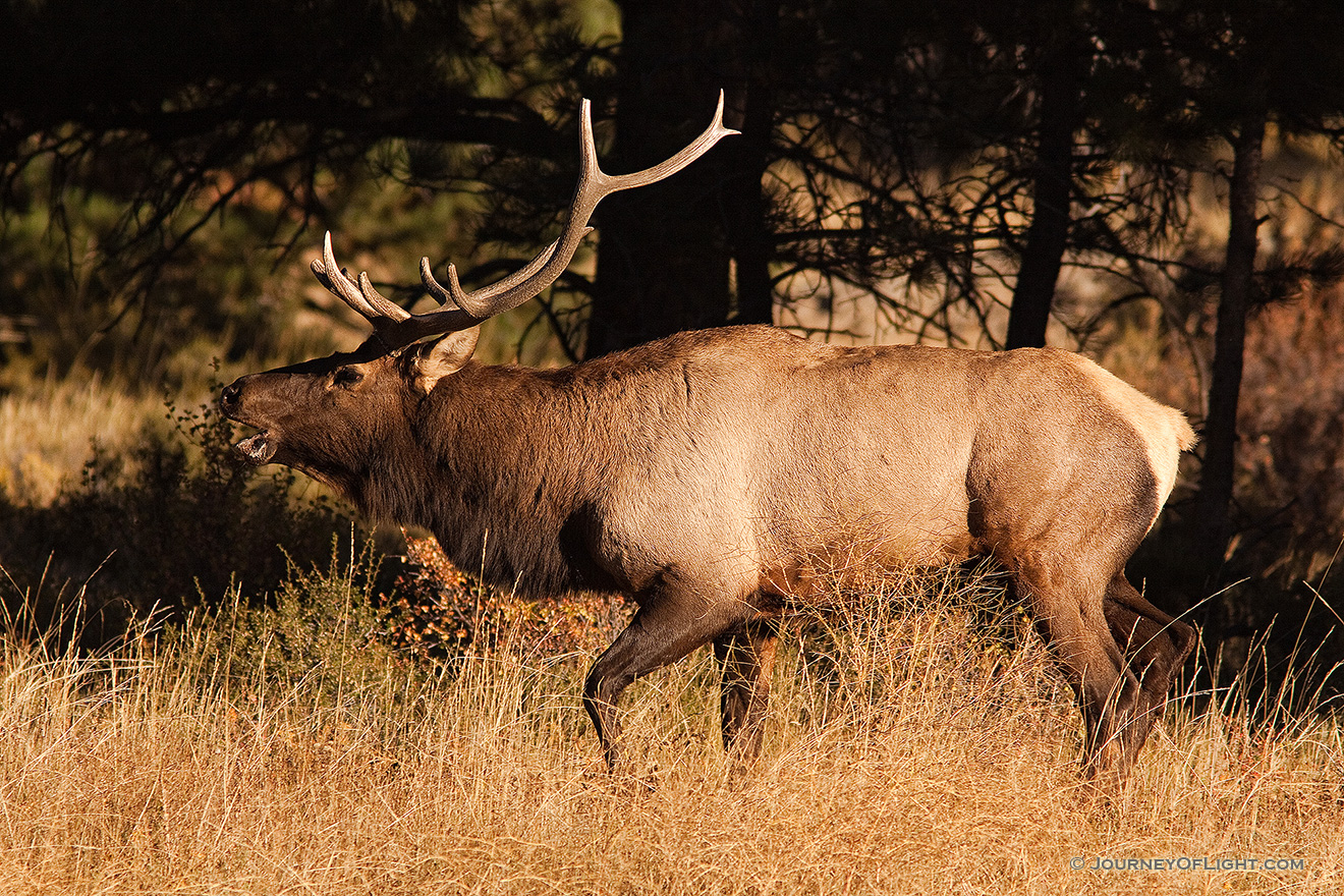 Fresh from a spar, the winner bugles his victory, the sound echoing throughout the valley. - Rocky Mountain NP Picture