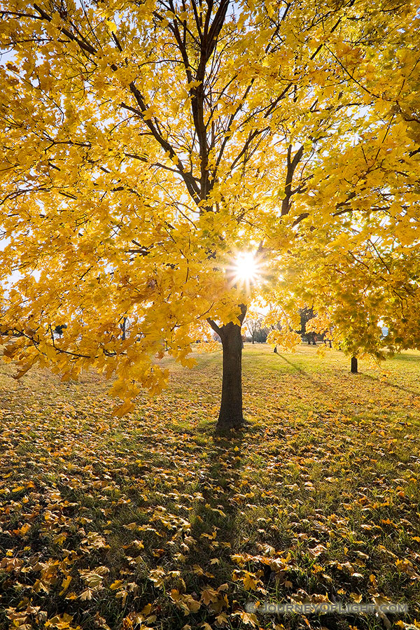 The sun shines through the branches of a maple whose leaves recently turned bright yellow at Branched Oak Lake State Recreation Area in Lancaster County, Nebraska. - Nebraska Photography