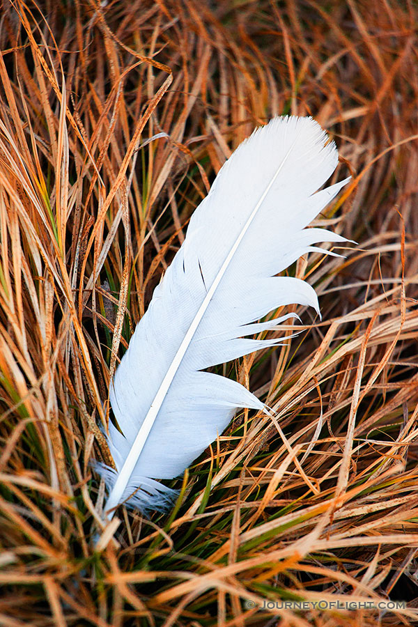 A single feather lies in prairie grass on a chilly winter day. - DeSoto Photography