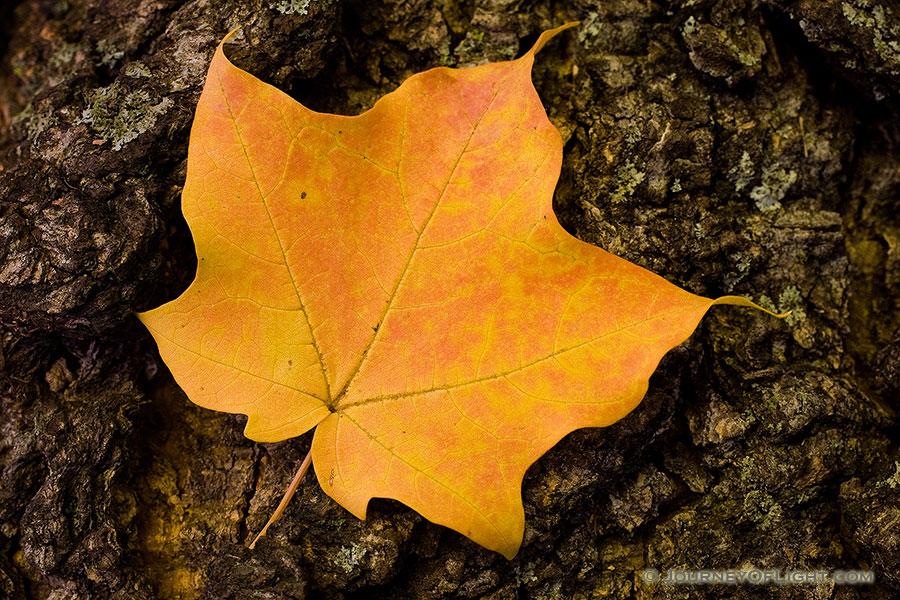 At Arbor Lodge State Park in Nebraska City, a red speckled brillant yellow maple leaf rests quietly in between wind gusts. - Arbor Day Lodge SP Photography