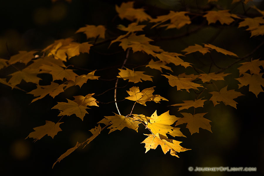 At Arbor Day Lodge State Park in Nebraska City, oak leaves, golden from the advance of autumn, reach for the last bit of evening light. - Arbor Day Lodge SP Photography