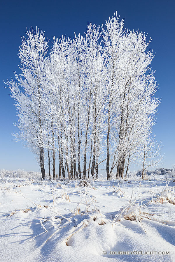 Hoarfrost clings to a stand of cottonwoods at Chalco Hills Recreation Area on a cold February morning. - Nebraska Photography