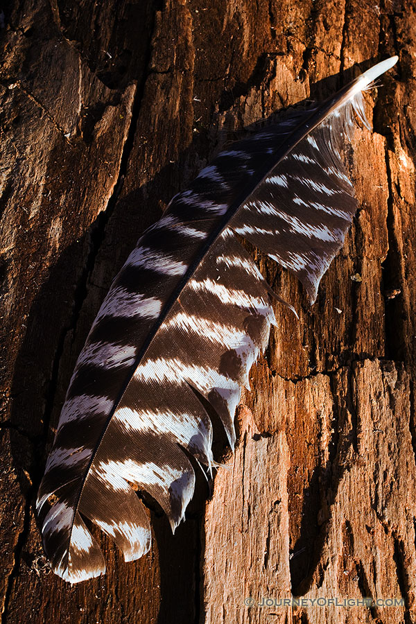 A lone Wild Turkey feather rests quietly on a log, briefly, before the breeze blows it along to its next destination. - DeSoto Photography
