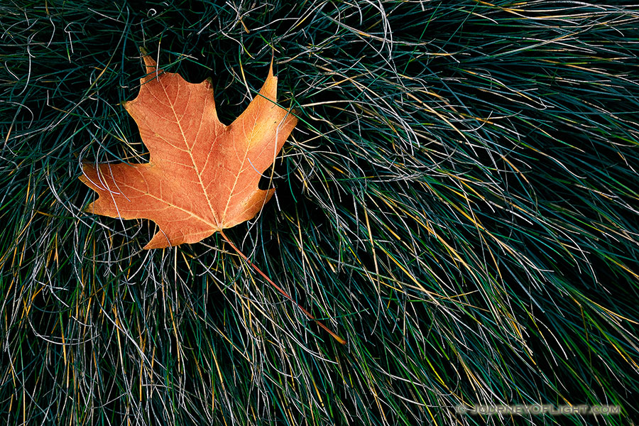 The last autumn leaf to fall at the OPPD Arboretum rests in a bed of grass. - Nebraska Photography