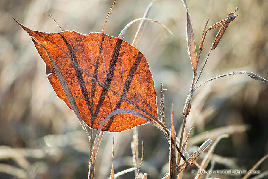 A single autumn leaf, frosted from the previous night, is caught in prairie grasses at Stagecoach State Recreation Area, Nebraska. - Stagecoach State Recreation Area Photography
