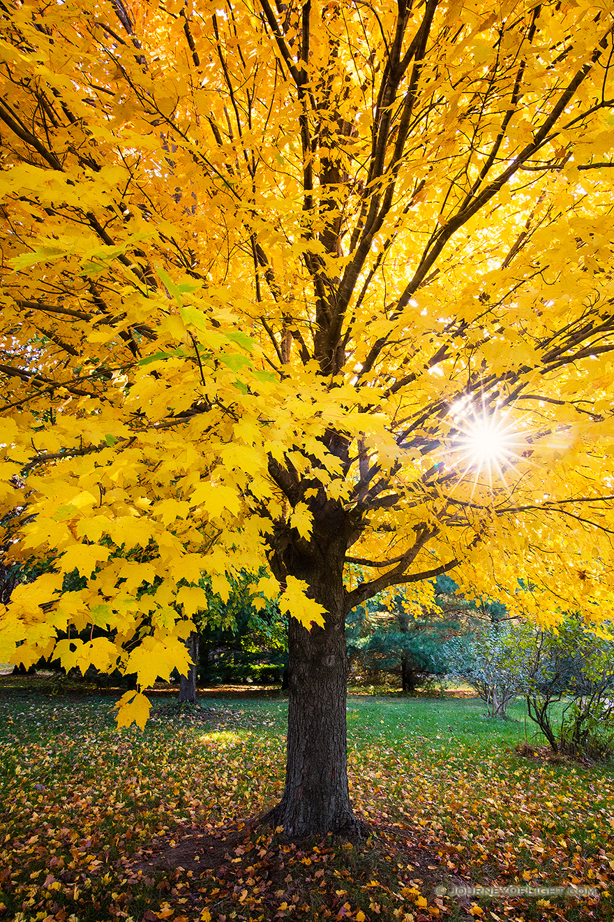 A photograph of an autumn yellow maple tree at Branched Oak Lake State Park, Nebraska.