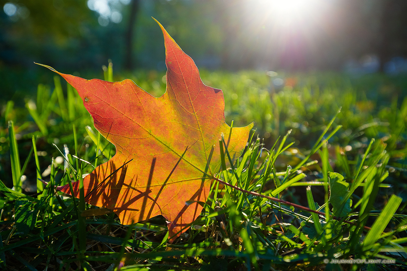 A photograph of an autumn maple leaf on the grass backlit with the sun at Arbor Day Lodge State Park, Nebraska.