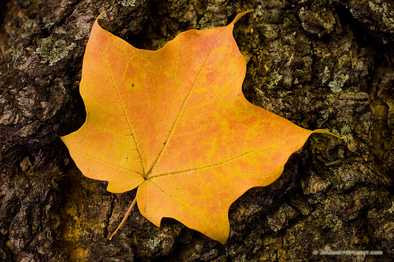 A photograph of an autumn maple leaf at Arbor Day Lodge State Park, Nebraska.