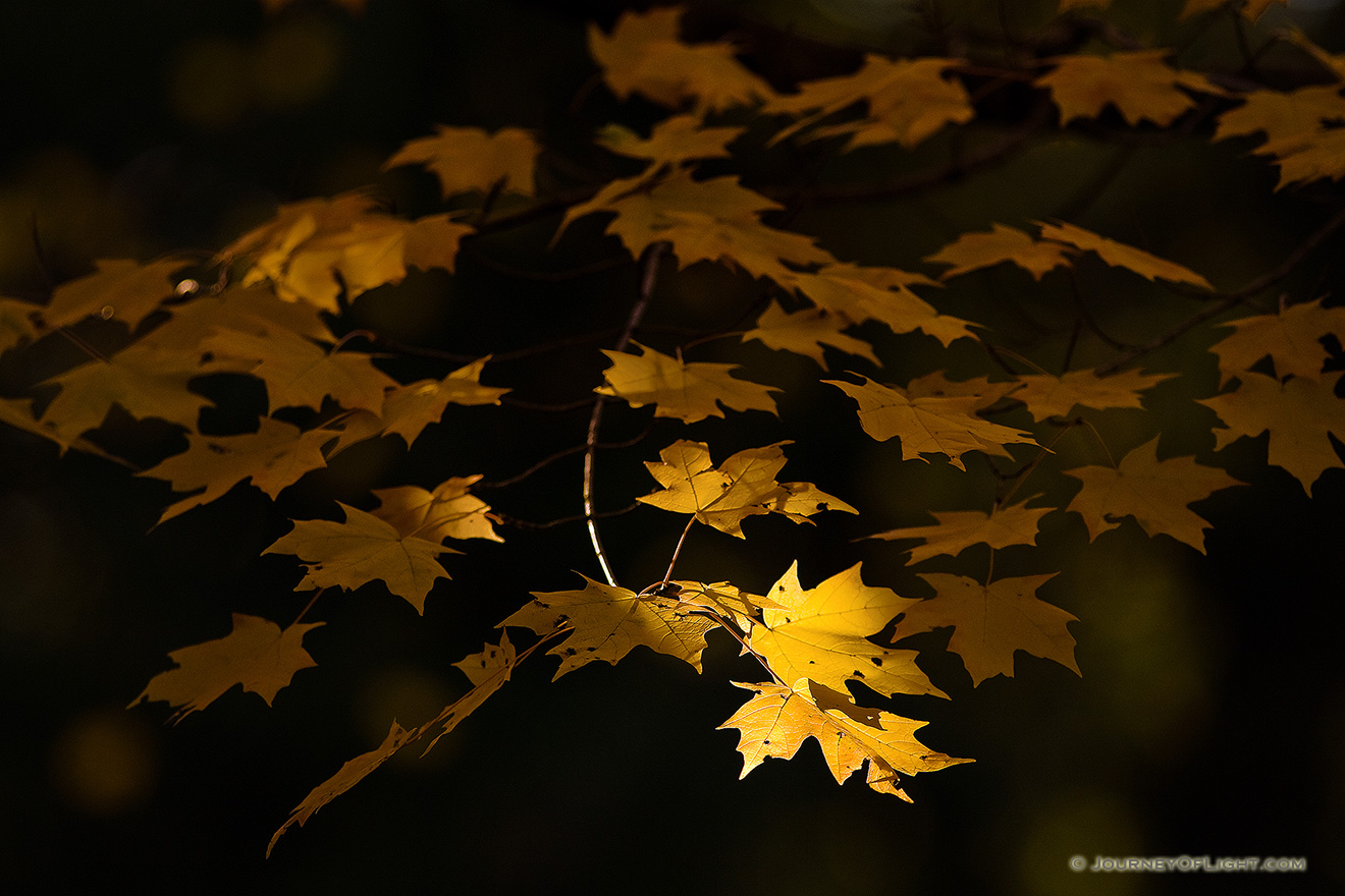 At Arbor Day Lodge State Park in Nebraska City, oak leaves, golden from the advance of autumn, reach for the last bit of evening light. - Arbor Day Lodge SP Picture