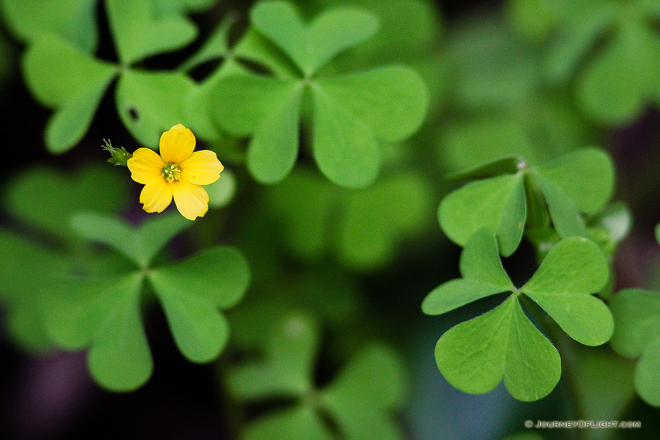 A chartreuse yellow clover flower in nebraska photograph scenic a single chartreuse yellow flower blooms among the clover nebraska picture mightylinksfo