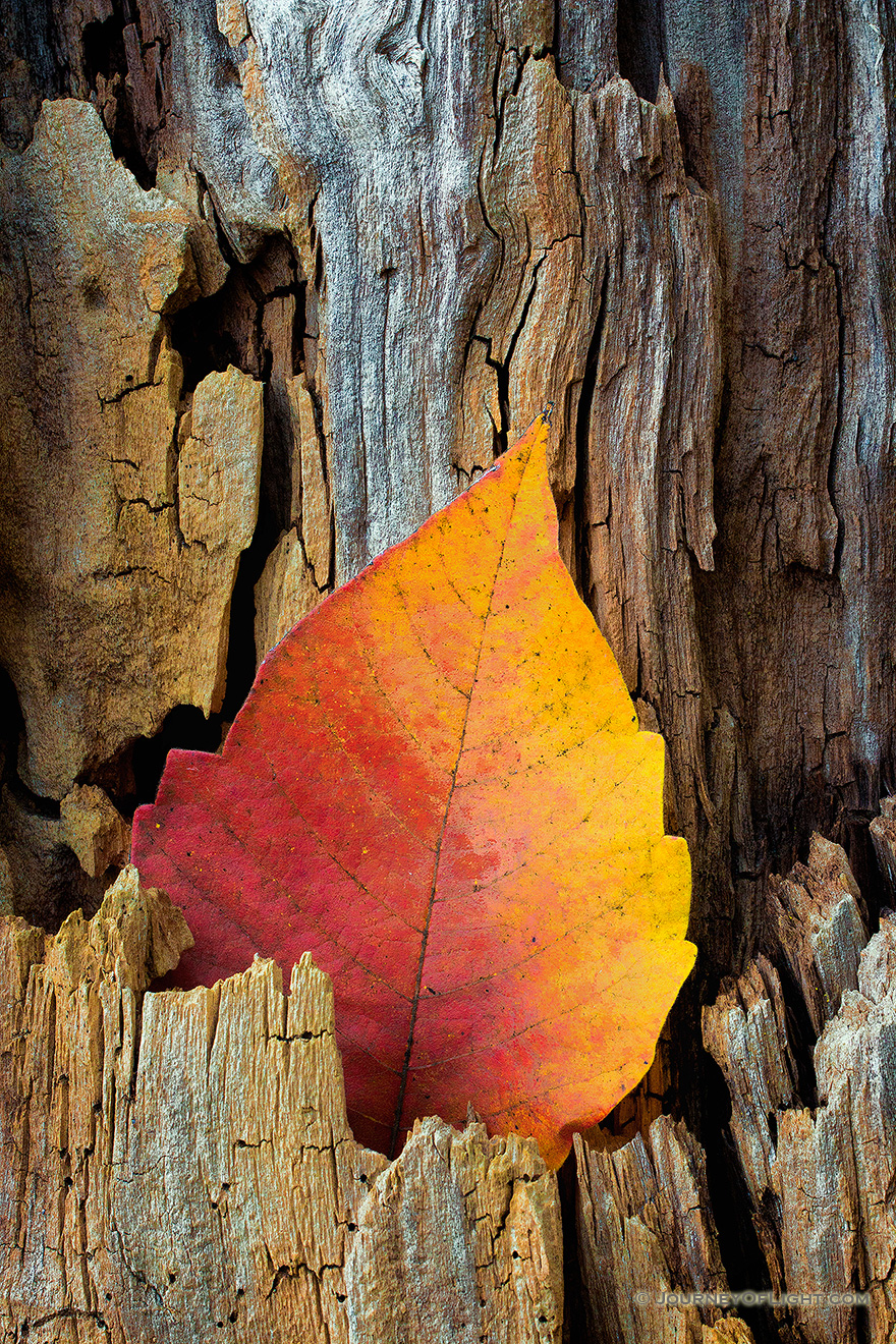 A photograph of an autumn leaf in a old tree stump at DeSoto National Wildlife Refuge, Nebraska.