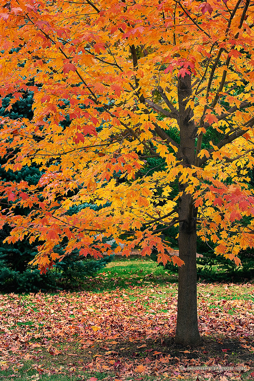 A photograph of a orange autumn maple tree at Arbor Day Lodge State Park, Nebraska.