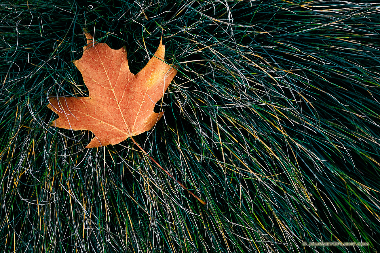 The last autumn leaf to fall at the OPPD Arboretum rests in a bed of grass. - Nebraska Picture