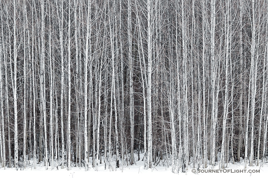 A stand of aspens stands among the snow along the road to Stevens Pass in the Wenatchee National Forest. - Pacific Northwest Photography