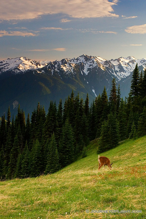 Deer graze in the shadow of the Olympic Mountain Range on Hurricane Ridge. - Pacific Northwest Photography