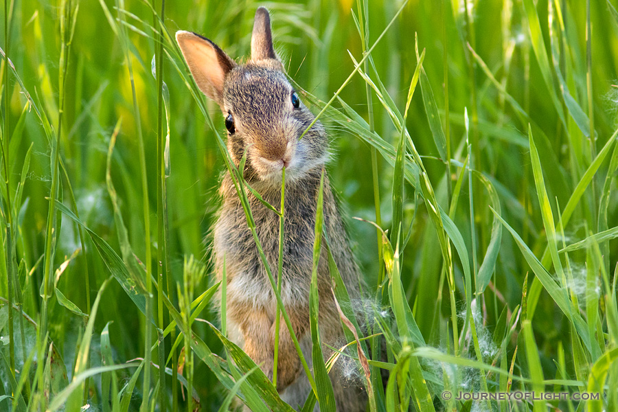 A photograph of a bunny rabbit chewing on grass in a field in rural Nebraska. - Nebraska Photography