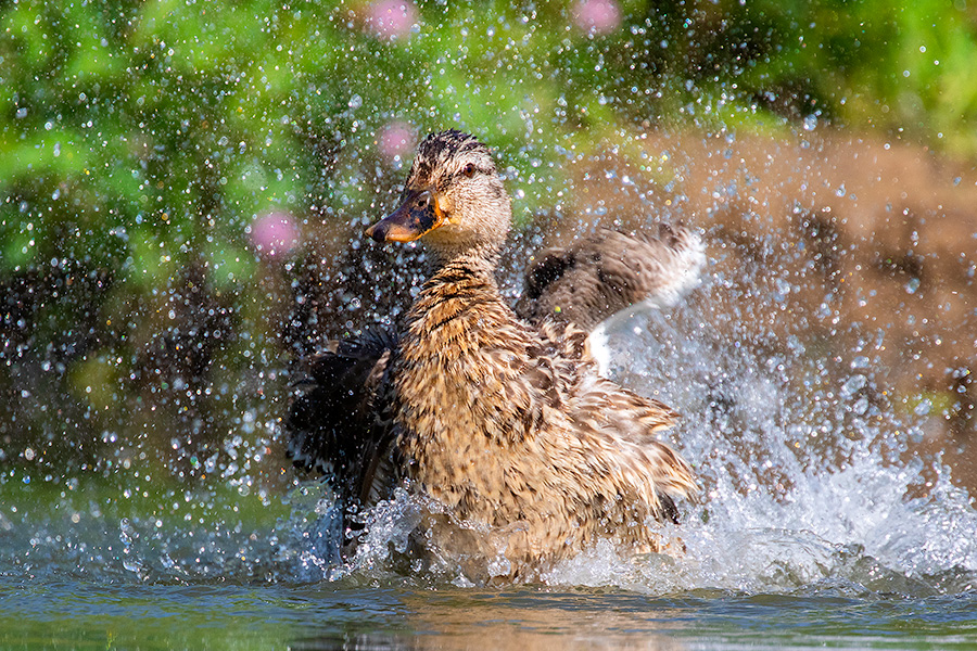 A wildlife photograph of a duck cooling off in Sarpy County, Nebraska. - Nebraska Photography