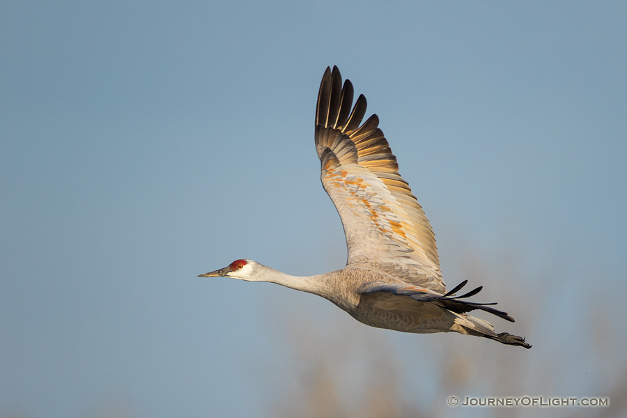 A Sandhill Crane turns toward the sun above the Platte River in Central Nebraska in the warm morning light. - Sandhill Cranes Photography