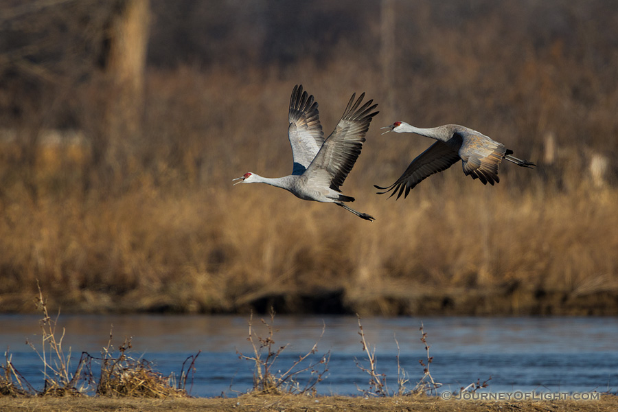 Two Sandhill Cranes take off from the Platte River. Each February through April hundreds of thousands of cranes migrate through the Platte River Valley in central Nebraska. - Sandhill Cranes Photography