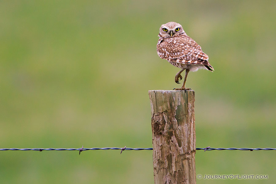 A burrowing owl watches from a fencepost near his burrow in the Sandhills of Nebraska. - Crescent Lake National Wildlife Refuge Photography