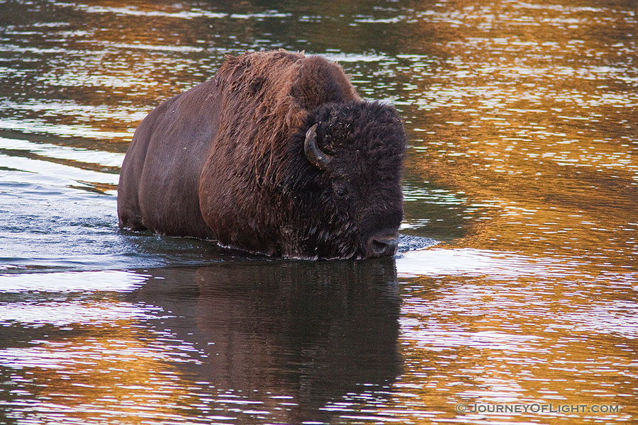 A buffalo fords the Yellowstone River in Yellowstone National Park. - Yellowstone National Park Photography
