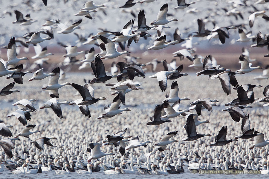 A group of snow geese take to the sky at Squaw Creek National Wildlife Refuge in Missouri.  There were over 1 million birds on the lake on this day. - Squaw Creek NWR Photography