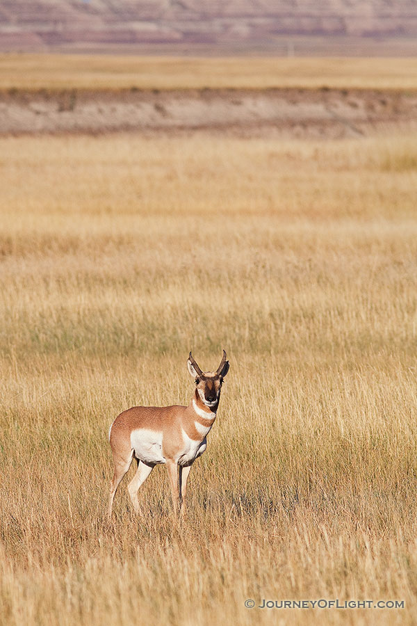A pronghorn (american antelope) stops briefly on the vast prairie in the Badlands in South Dakota. - South Dakota Photography