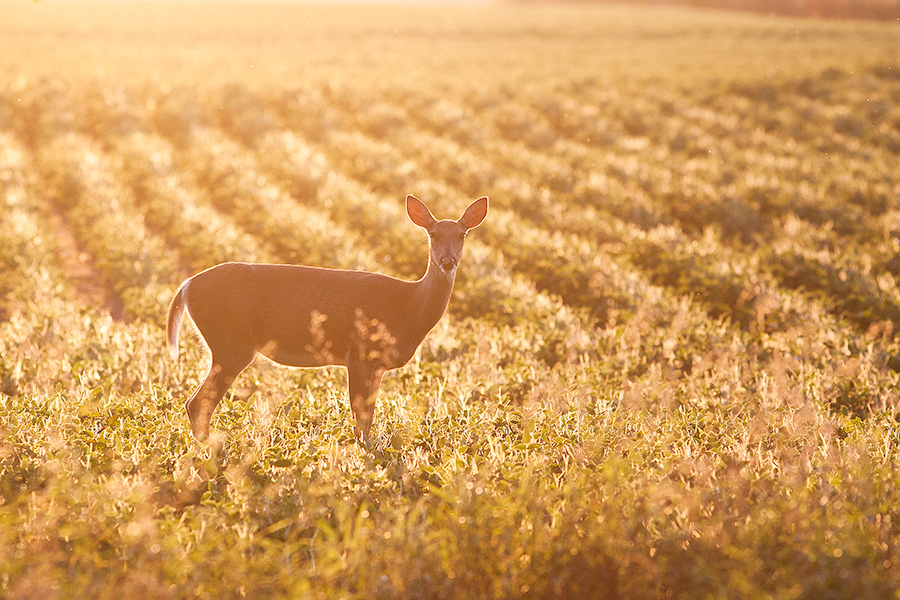 A deer stops briefly in the late afternoon sun at DeSoto National Wildlife Refuge. - DeSoto Photography