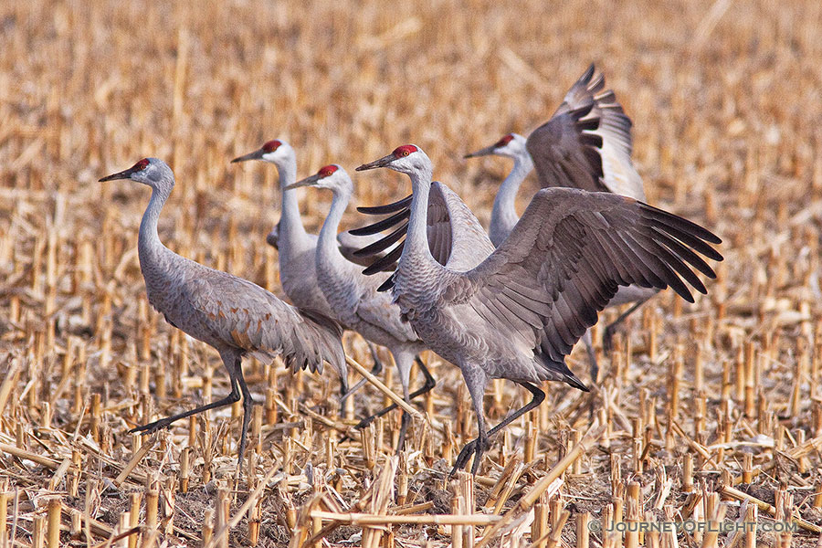A sandhill crane dances for his fellow cranes in a cornfield in the warm early morning spring sun. -  Photography