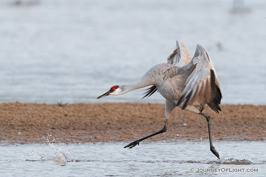 A Sandhill Crane runs on the Platte River in Nebraska on a cool early spring morning. - Nebraska,Wildlife Photography