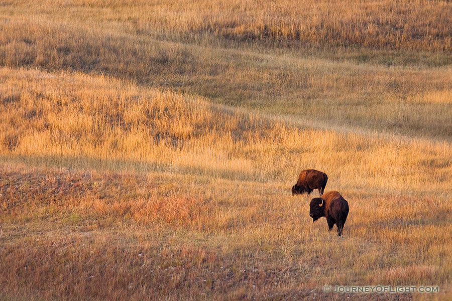 Two Buffalo and the rolling hills of Wind Cave National Park in South Dakota. - South Dakota Photography