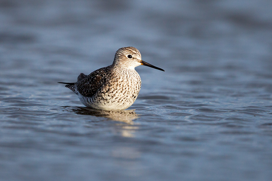 A wildlife photograph of a yellowlegs wading in a Marsh in eastern Nebraska. - Nebraska Photography